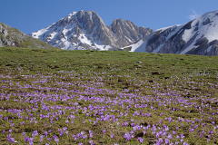 Krokusse am Campo Imperatore